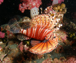 BD-070404-Similan-4040289-Dendrochirus-zebra-(Cuvier.-1829)-[Zebra-turkeyfish.-Zebradrakfisk].jpg
